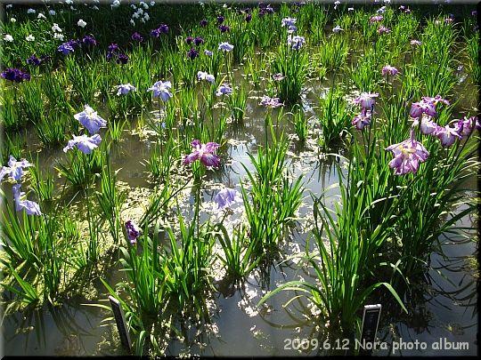 2009.06.12横須賀市立しょうぶ園 (3).JPG